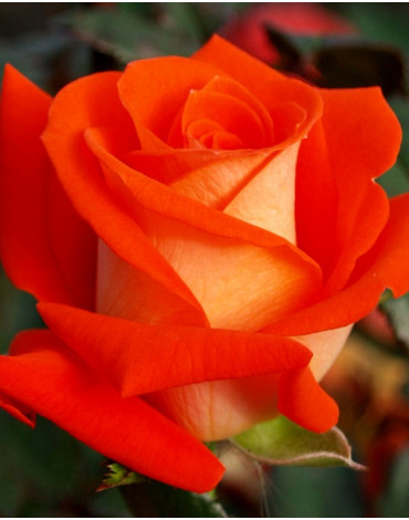 "Роза ""Верано"" ч/гибридная"