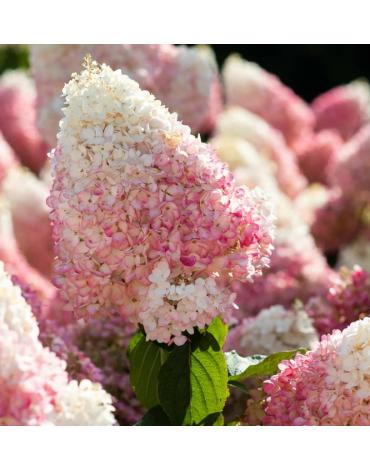 """Гортензия метельчатая """"Strawberry Blossom"""""""