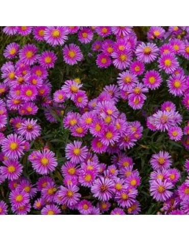 "Астра кустарниковая ""Purple Beauty"""