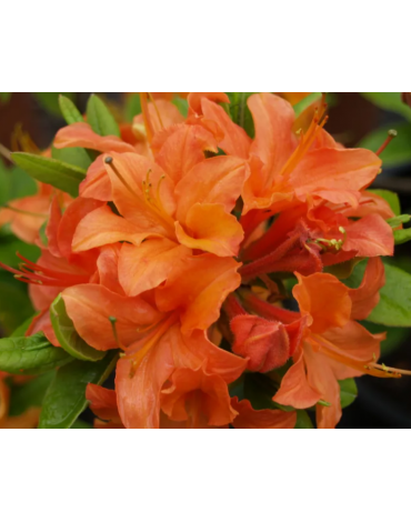 """Азалия крупноцветковая """"Mandarin Lights"""""""