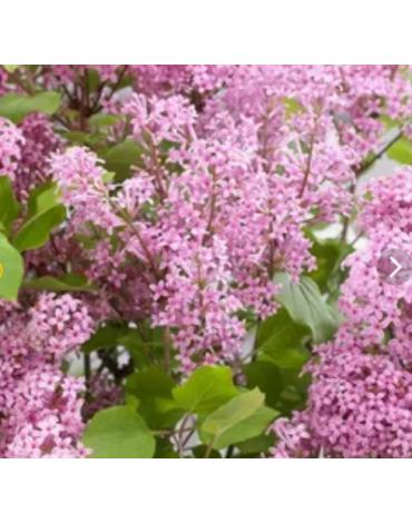 "Сирень Мейера ""Flowerfesta Pink"""