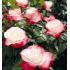 """Роза """"Ностальжи"""" (ч/гибридная)"""