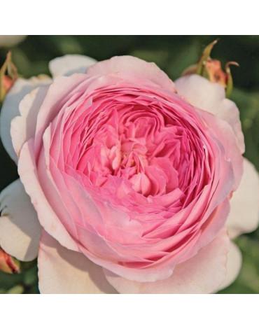 "Роза ""Александра Принцесса де Люксембург"" (кустовая)"