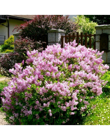 """Сирень Мейера """"Flowerfesta Purple"""""""