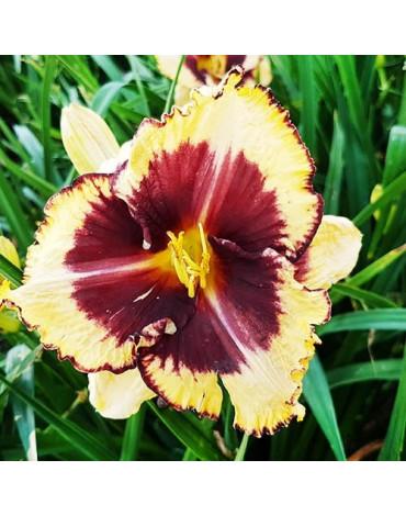 """Лилейник """"Tiger Blood"""" кремово-жёлтого цвета с огромным тёмно-фиолетовым глазком и краями того же цв"""