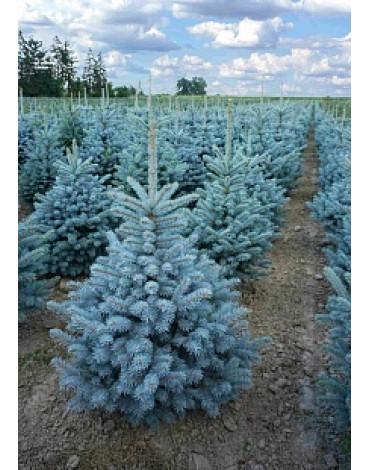 """Ель колючая """"Super Blue Seedling"""""""