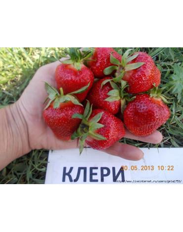 """Клубника садовая """"Клери"""" уп. 6шт"""