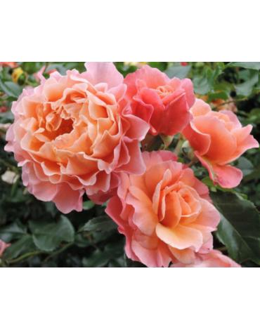 "Роза ""Мари Кюри"" (клумбовая)"