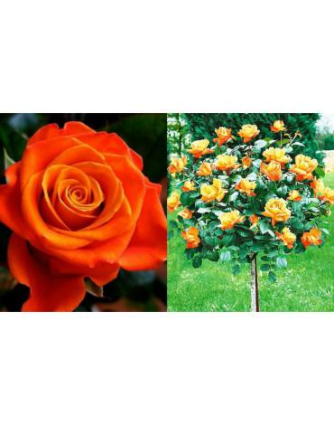 """Роза на штамбе """"Monica"""" (ч/гибридная)"""