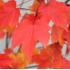 "Клён красный ""October Glory"""
