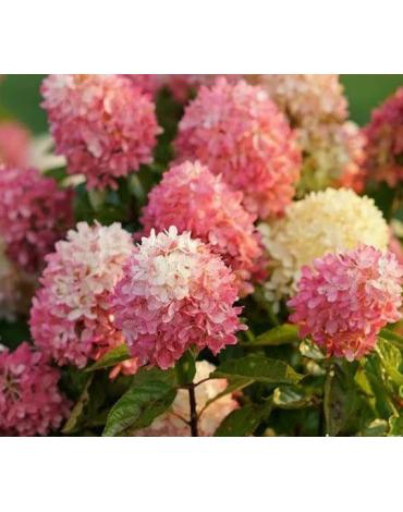 """Гортензия метельчатая """"Touch of Pink"""""""