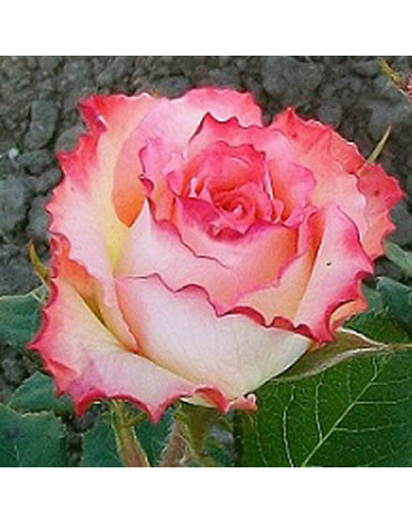 "Роза ""Дуэт"" (ч/гибридная)"