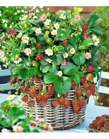 Клубника садовая  Ампельная