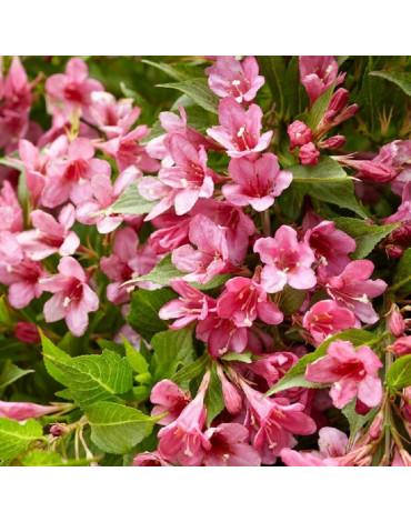 "Вейгела цветущая ""Picobella Rosa"""