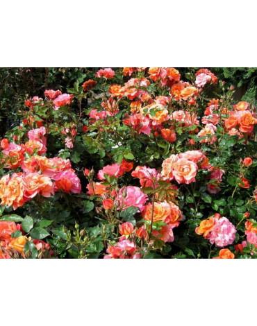 Роза в ассортименте