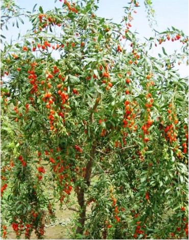 Дереза обыкновенная(ягоды Годжи)