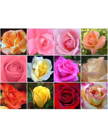 Роза в ассортименте (Д.Д) 850руб