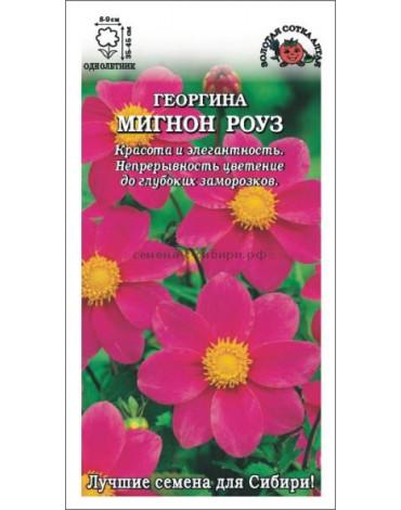 Георгина Мигнон Роуз (Сотка)