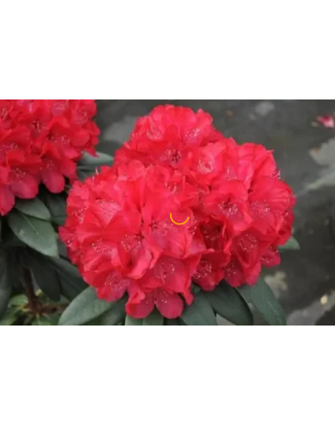 """Рододендрон гибридный """"Wladyslaw Jagiello/Royal Red"""""""