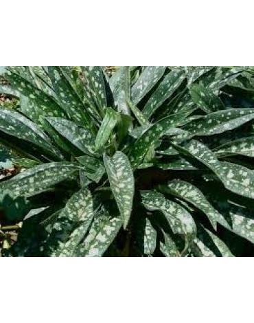 Медуница длиннолистная (Щ.А)300руб