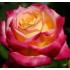 """Роза """"Восточный Экспресс"""" ч/гибридная"""