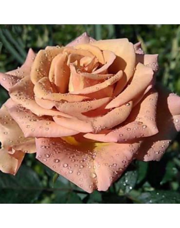 """Роза """"Марракеш коричневая"""" (ч/гибридная)"""