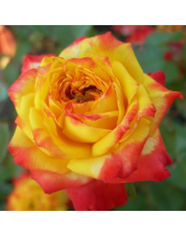 "Роза ""Чарльстон"" (флорибунда)"