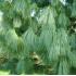 Сосна Валлиха (гималайская, Гриффита)
