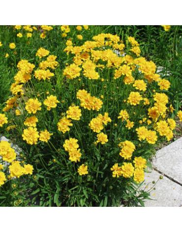 Кореопсис крупноцветковый (Щ.А)320руб