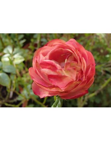 """Роза """"Акрополис"""" (флорибунда)"""